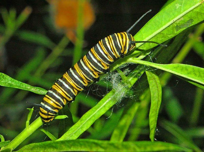 caterpillar. Soe ilkweed species have higher levels of these toxins than others. Monarchs show preference to soe ilkweed species.