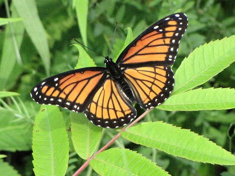 Viceroy butterfly viceroy butterflies are