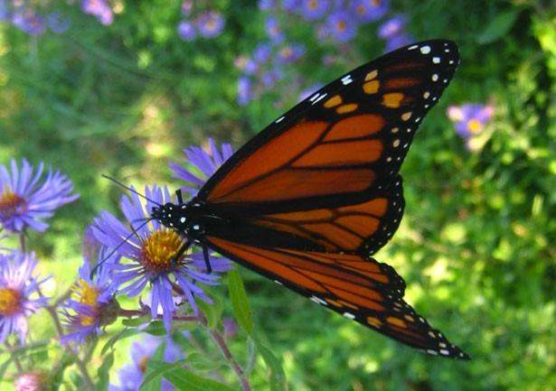 Nectar and Nectar Corridors Adult onarchs feed on the nectar fro flowers, which contain sugars and other nutrients.
