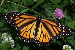 Feale Male The Monarch Butterfly The onarch butterfly (danaus xippus) is aong the ost recognized, studied, and loved of all of North Aerica s insects.