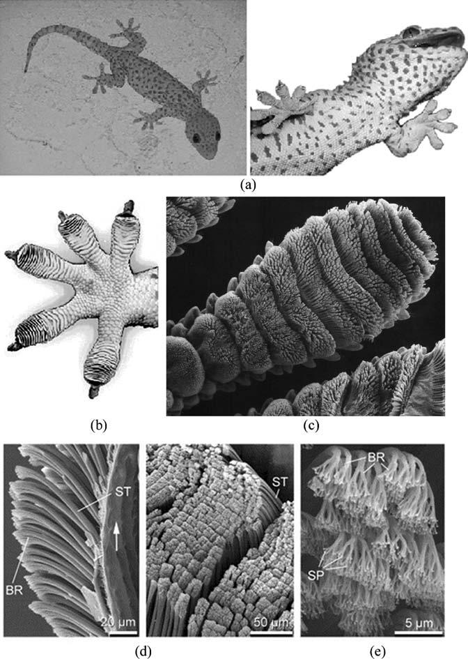 27 Gecko Feet: Natural Attachment Systems 3 Fig. 27.1. a Tokay gecko (Autumn et al. 2000) The hierarchical structures of a gecko foot; b a gecko foot (Autumn et al.