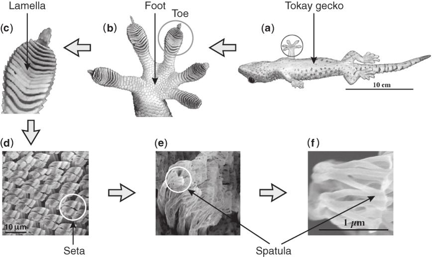 Hierarchical structures of a Tokay gecko. a) Optical image of a Tokay gecko at rest. b) A gecko foot. c) A gecko toe.