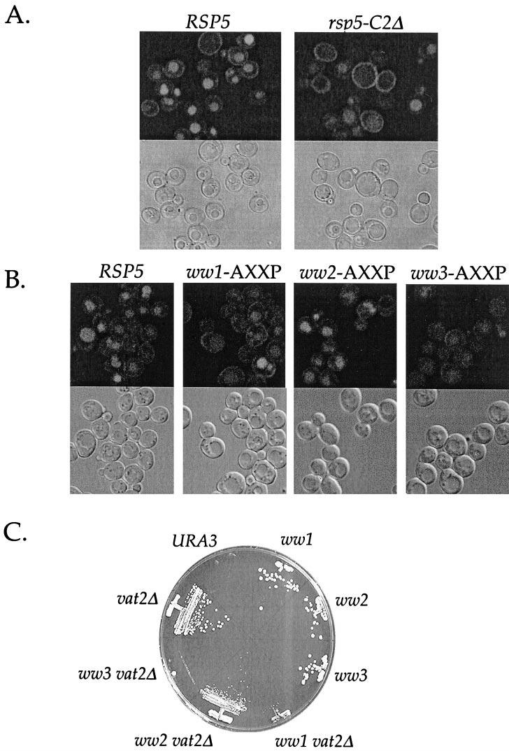 Rsp5p and Its WW Domains in Endocytosis Figure 7. Fluid-phase endocytosis in rsp5 domain mutants. (A) LY uptake in RSP5 (LHY2066) and rsp5- C2 (LHY2232) cells.