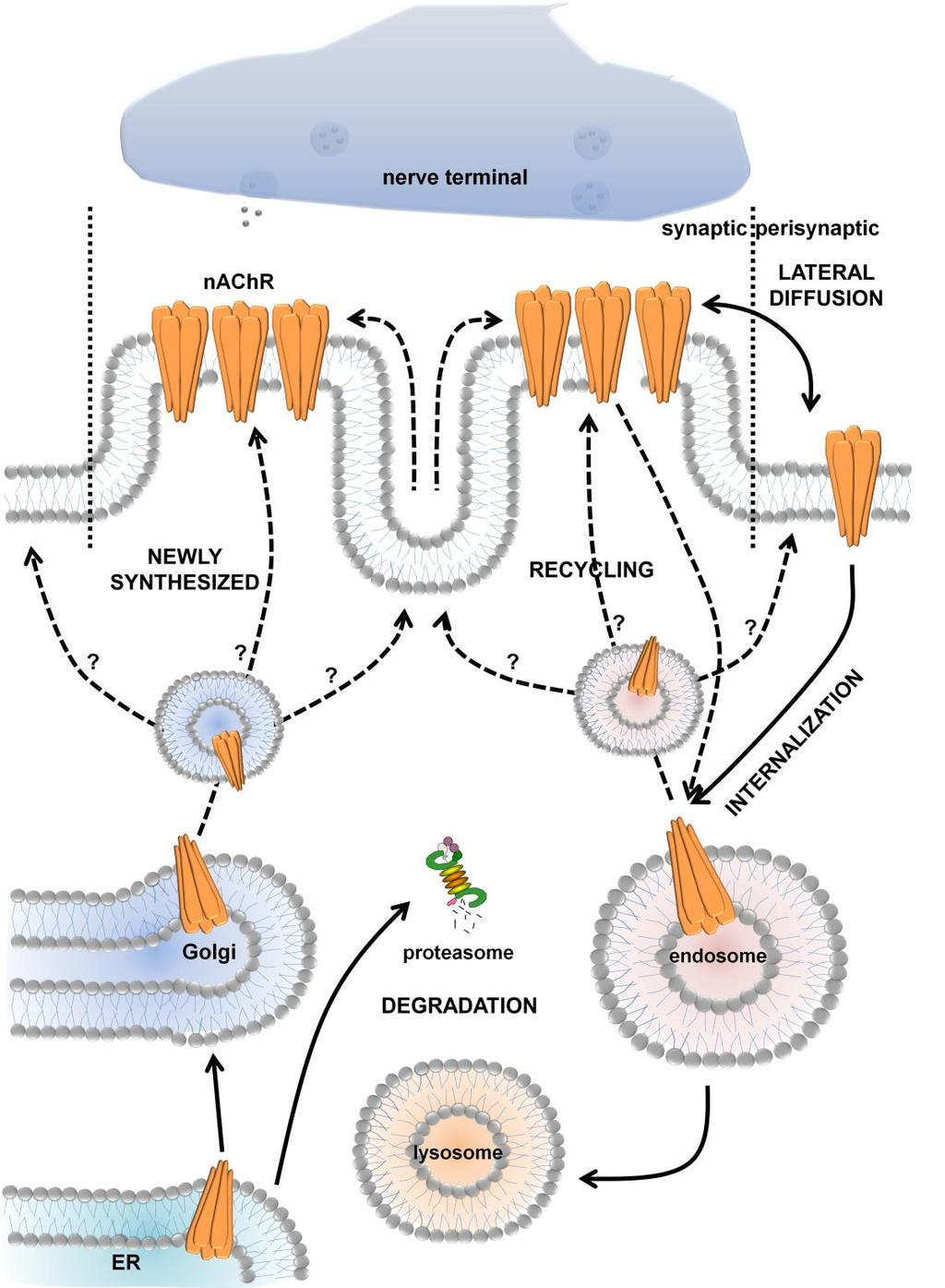 Figure 1.1. Dynamics of nicotinic acetylcholine receptors at the neuromuscular junction.