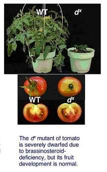 The dx mutant of tomato is severely dwarfed due to