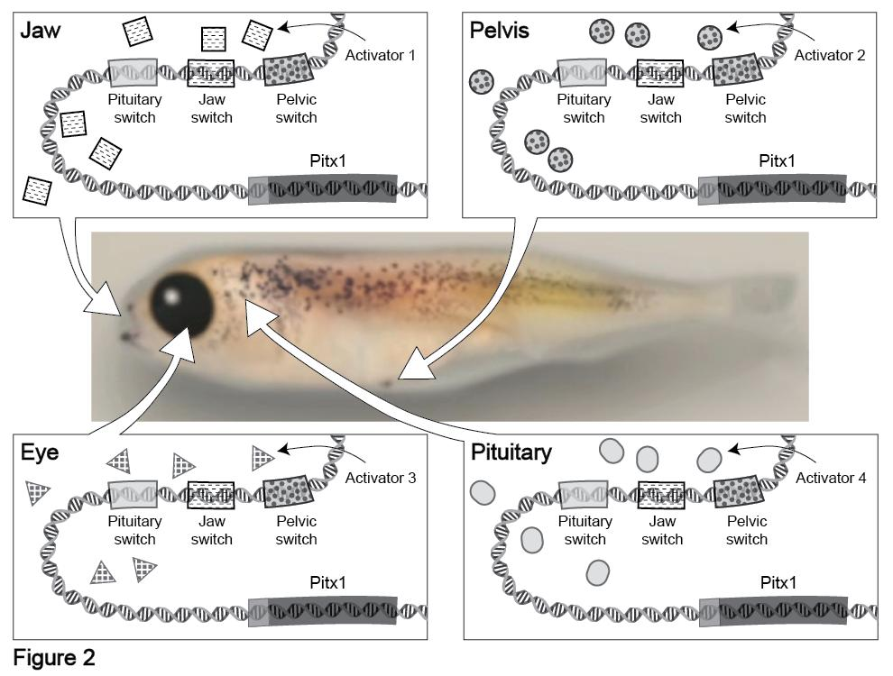 PART 2: GENE REGULATION IN DIFFERENT TISSUES As you saw in the film, the presence or absence of pelvic spines in the stickleback fish is controlled by whether the Pitx1 gene is expressed in the