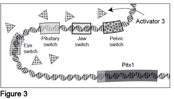 5. A fish inherits a mutation that results in a new regulatory switch ( switch ) that regulates Pitx1 expression in the.