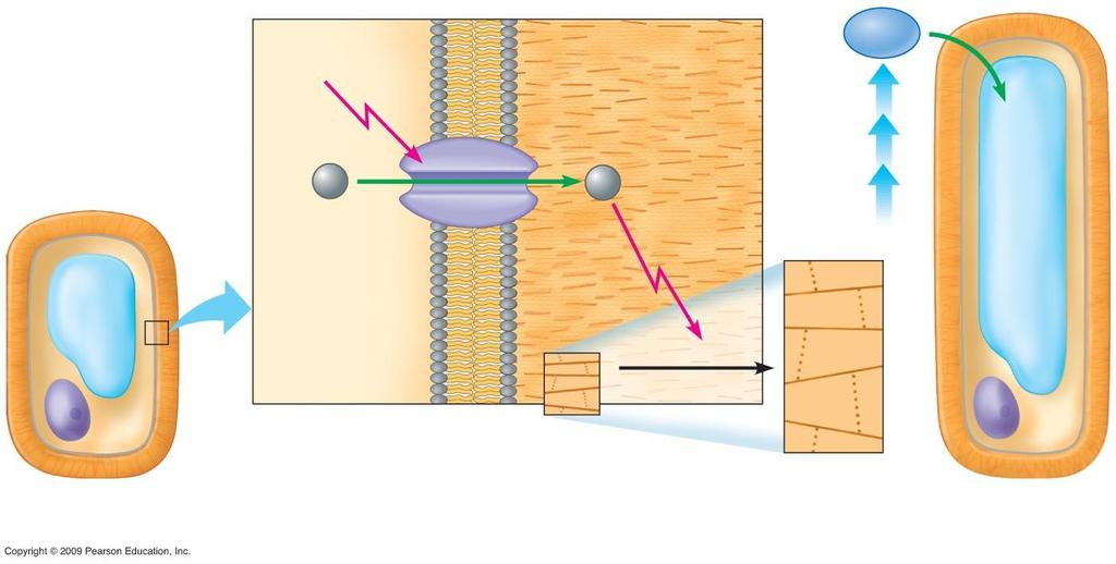 Plasma membrane Vacuole Cell wall 1 H + Proton pump (protein) Cytoplasm Cell wall Cellulose molecule H + 2