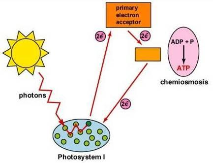 Cyclic Photophosphorylation Process for ATP generation
