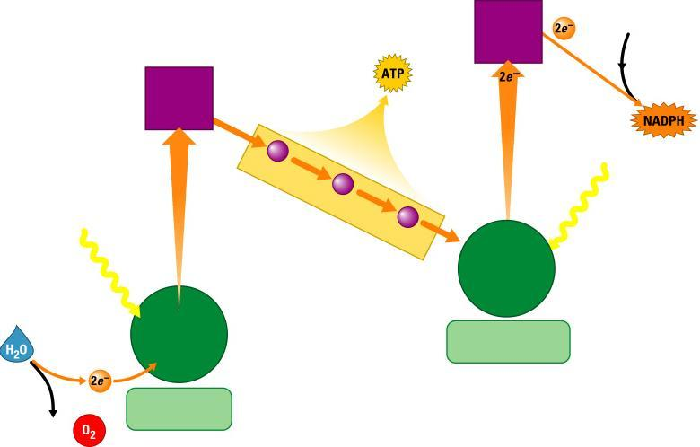How the Light Reactions Generate ATP and NADPH Primary electron acceptor NADP Primary electron acceptor 2 Energy to make 3 Light