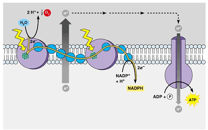 The production of ATP by chemiosmosis in photosynthesis Thylakoid compartment (high H + ) Light Light Thylakoid