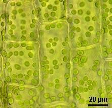 the chloroplast is
