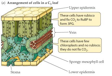 Leaf Anatomy In C3 plants (those that do C3 photosynthesis), all processes occur in the mesophyll cells.