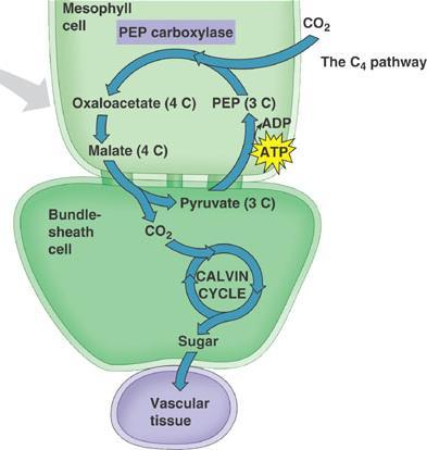 C4 Pathway The 4 carbon intermediate is smuggled into the bundle sheath cell The bundle sheath cell is