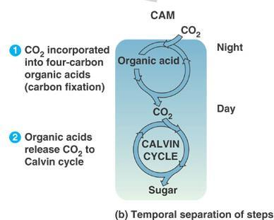 CAM Pathway Fix CO 2 at night and store as a 4 carbon molecule Keep