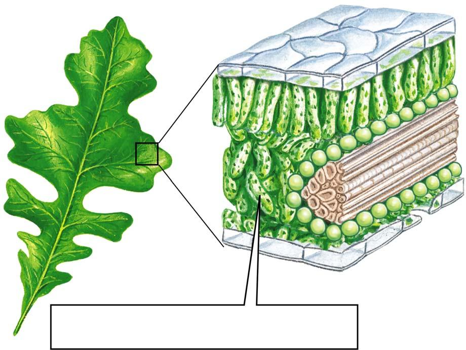 6.5 How Does the Need To Conserve Water Affect Photosynthesis?