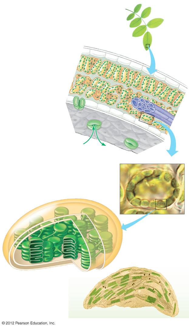 7.2 hotosynthesis occurs in chloroplasts in plant cells Chloroplasts are the major sites of photosynthesis in green plants.