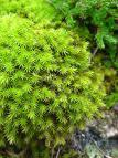 Nonvascular Plants mosses, liverworts and hornworts are nonvascular plants.