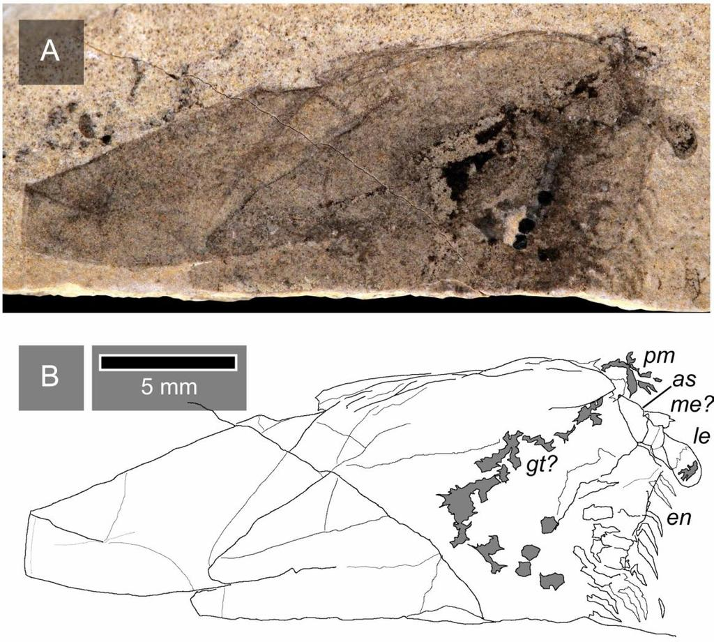 The impact of fossils on arthropod phylogeny Fig. 5.9 Detailed view of the anterior of ROM 62154 (counterpart) with interpretive camera lucida drawing (B).