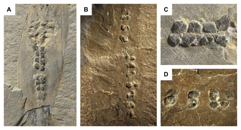 The impact of fossils on arthropod phylogeny Fig. 6.5 Digestive glands of Isoxys and Opabinia. A, Isoxys acutangulus (ROM 57904); B, Opabinia (ROM 59874); C, close-up view of the gut glands of I.