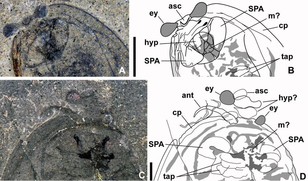 Head structure in Cambrian bivalved arthropods Fig. 7.1 Structural organization of the head in Perspicaris dictynna (Simonetta and Delle Cave 1975).