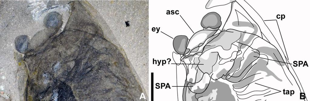Head structure in Cambrian bivalved arthropods underneath the carapace in NMNH 189019a does not allow resolution of the precise Fig. 7.