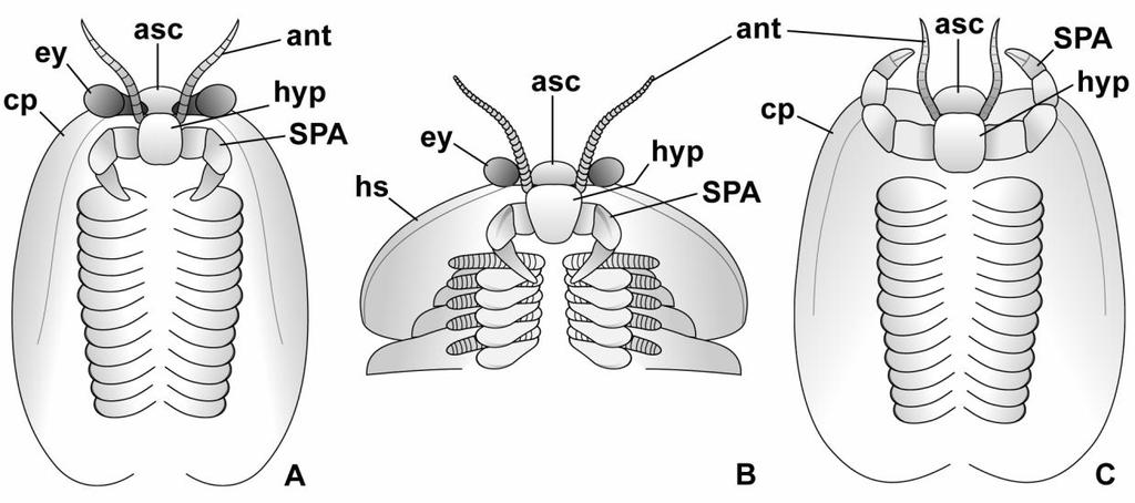 The impact of fossils on arthropod phylogeny Fig. 7.4 Fundamental structural organization of the head region in selected Cambrian bivalved arthropods and fuxianhuiids.