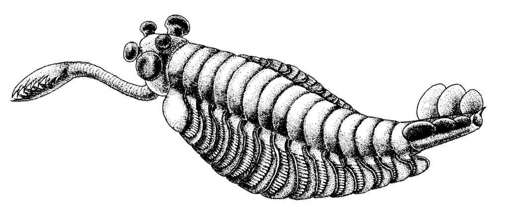 The impact of fossils on arthropod phylogeny Fig. 2.1 Reconstruction of the aberrant stem-arthropod Opabinia regalis Walcott, 1911a. Drawn by Marianne Collins 2011. to the archosaurs.