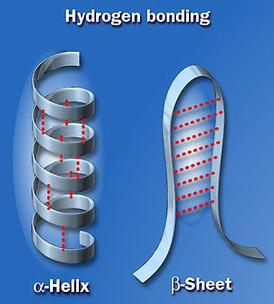 The hydrogen bonds define secondary