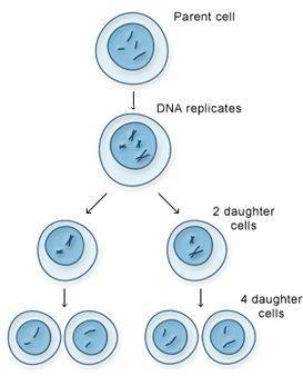 Overview of Meiosis In meiosis, of chromosomes