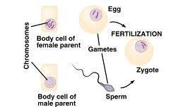 Somatic Cells vs. Gametes Somatic cells are body cells (nerve cells, muscle cells, epithelial cells ).