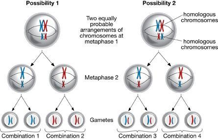 Sources of Genetic Variation from Meiosis Independent Assortment: Each homologous pair lines up independently on the spindle in Meiosis I.