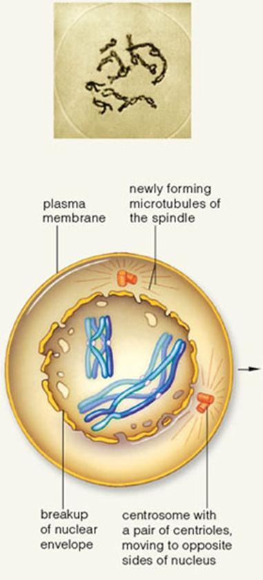 Prophase I (cont.