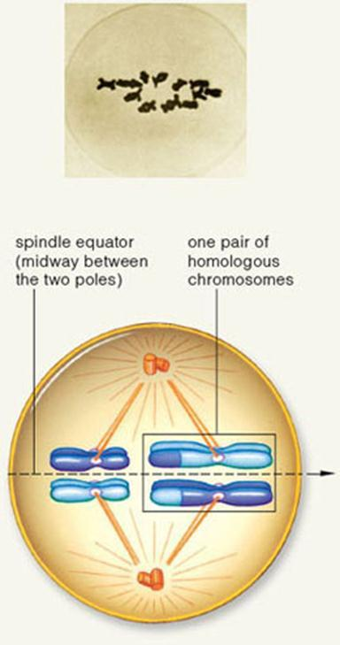 Metaphase I Microtubules from both poles position all