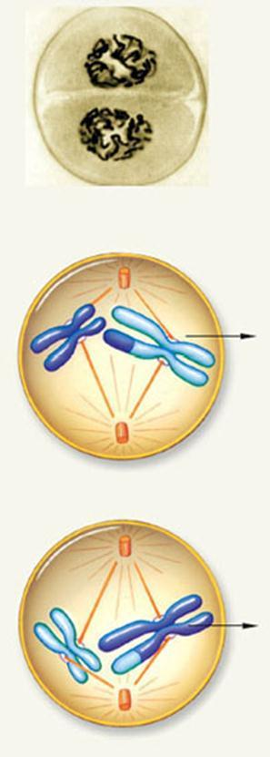 Meiosis II The second nuclear division