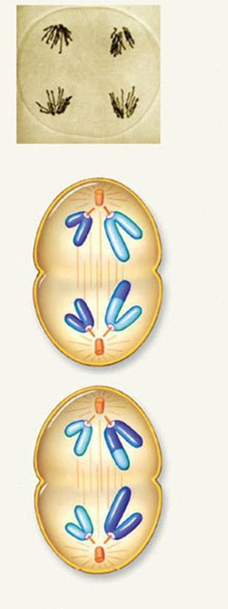 Anaphase II and Telophase II In anaphase II, one chromosome of each