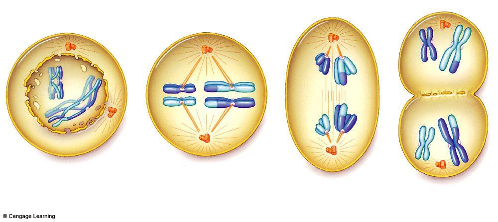 Meiosis I plasma membrane newly forming microtubules of the spindle one pair of homologous chromosomes spindle equator (midway between the two poles) breakup of nuclear envelope centrosome with a