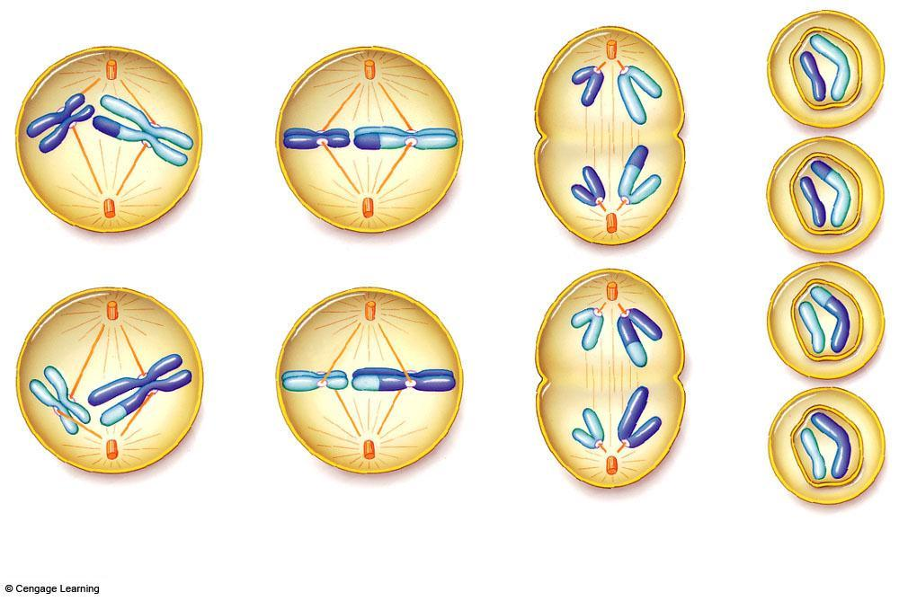 Meiosis II there is no DNA replication between the two divisions Prophase II Metaphase II Anaphase II Telophase II In each cell, one of two centrioles moves to the opposite side of the cell, and a