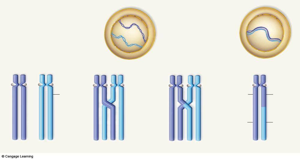 a A maternal chromosome (purple) and paternal chromosome (blue) were duplicated earlier, during interphase.