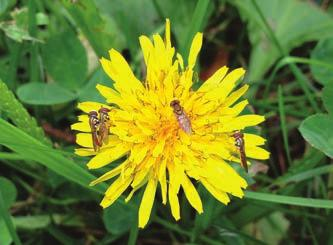 Common weeds like dandelions are highly attractive to pollinating insects like these hover flies.