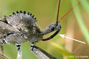 Examples: Aphids Mosquitoes Wheel bug 15 16 PIERCING-SUCKING MOUTHPARTS