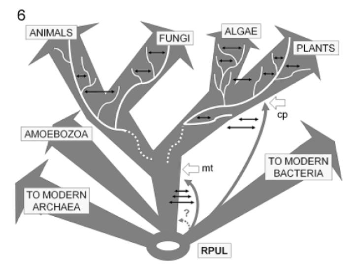 Phylogenetic tree anatomy Trees are probably not strictly bifurcating Some evidence for