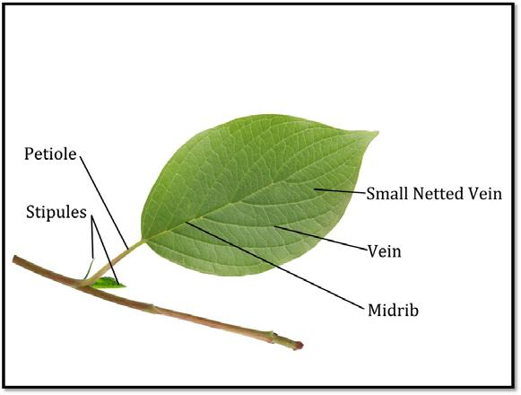 9. Flower Types both stamen and pistil are present and functioning imperfect stamen or is missing Plant Structures: Leaves Segment 1.