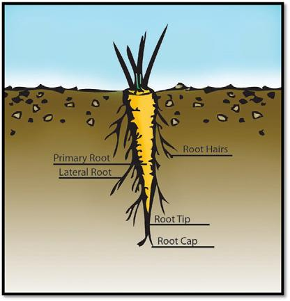 Plant Structures: Roots Segment 1. Roots Are usually Anchor plants in soil Absorb water and Can store food for plant 2. Root Tissues epidermis vascular cylinder or 3.