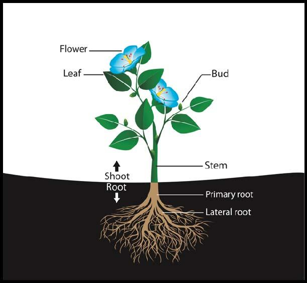 6. Fibrous Root System Are found in most Consists of an extensive mass of, widely spread roots Monocots: flowering plants with only one seed cotyledon 7.