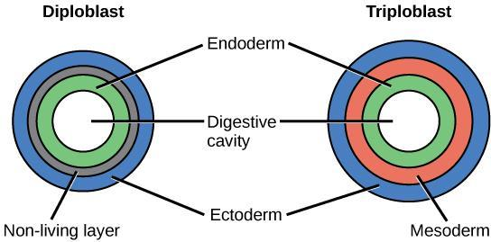 C. Triploblastic: three germ layers Mesoderm grows between the ectoderm and