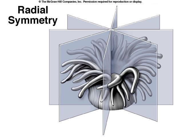 A. Radial Symmetry Can be divided into many