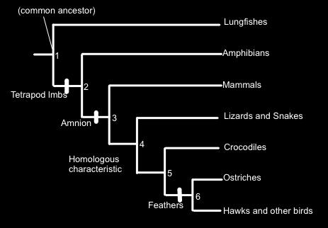 Complete the table below, based upon the cladogram above, by placing an X in the box if the organism demonstrates the trait.