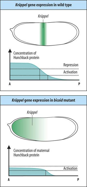 Kruppel expression is controlled by Hunchback protein High levels of