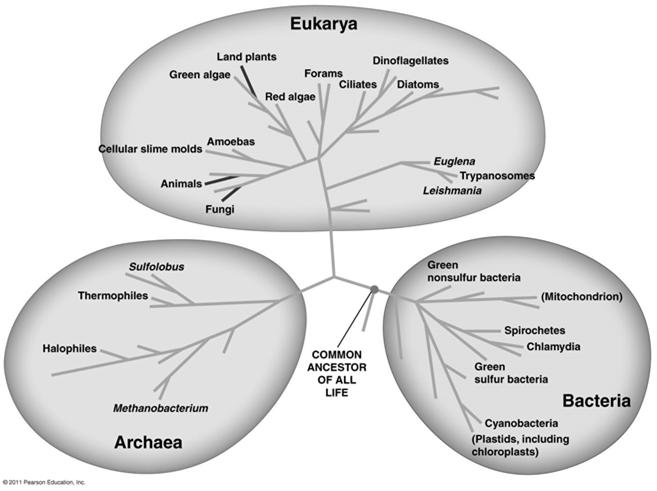 From Two Kingdoms to Three Domains Early taxonomists classified all species as either plants or animals Later, five kingdoms were recognized: Monera (prokaryotes), Protista, Plantae, Fungi, and